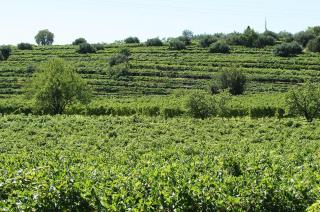 vigne della valpolicellaAmarone - Rubinelli Vajol