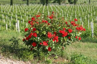 Produzione amarone - Rubinelli Vajol